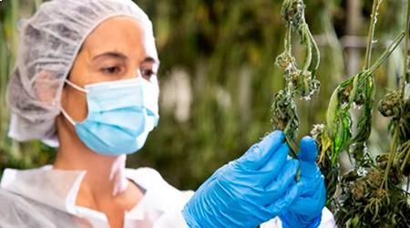 טיפול בצמח הקנאביס